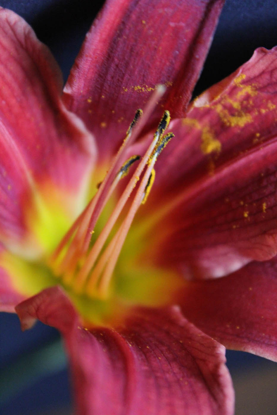 Lilium Photo1 19 Mai 2015 12h25