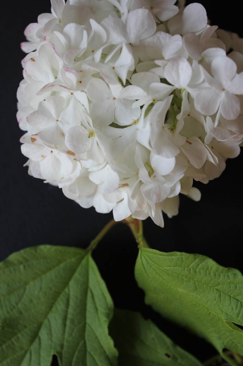 Viburnum Photo1 2 Juin 2015 16h20